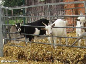 Streichelbauernhof: Ziegen, Ziegenböcke und Zicklein
