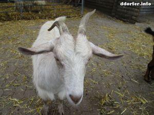 Kinderbauernhof Düsseldorf: Weiße Ziege