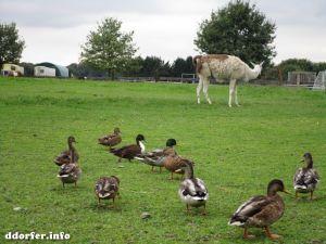 Kinderbauernhof Düsseldorf: Lama und Enten