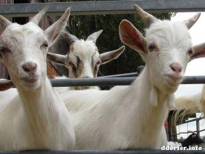 Gut Grütersaap Streichelbauernhof: Hungrige Ziegen