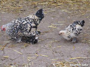 Gut Grütersaap Streichelbauernhof Hühner