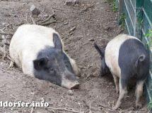 Schweine im Streichelzoo Südpark